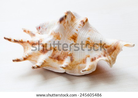 seashell shell isolated on white background - stock photo