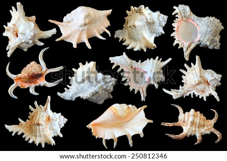 Seashells (Cockleshells) collection isolated on the black background - stock photo