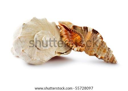 Seashells isolated on the white background - stock photo