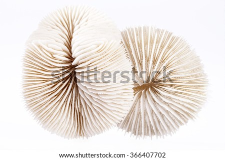 seashells of Fungia isolated  on white background, close up