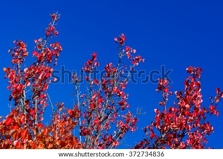 Season change, red autumn leaves with blue sky - stock photo