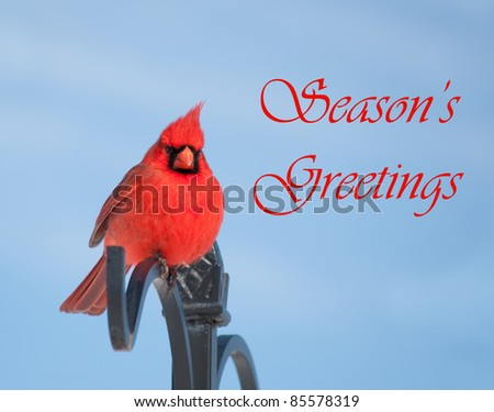 Season's Greetings card with red male Northern Cardinal and text - stock photo
