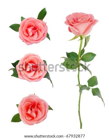 Seasonal roses symbolic - stock photo