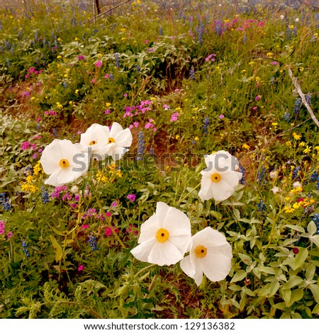 Seasonal wild flowers in Texas. - stock photo