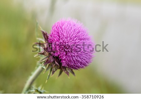 Seasonal Wild Flowers - Musk Thistle  - stock photo