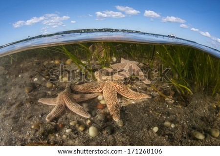 Seastars (Asterias sp.) crawl across the shallow bottom of a Cape Cod bay in Massachusetts searching for food. These animals prey on mussels, oysters, quahogs, or scavenge dead marine organisms. - stock photo