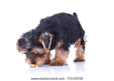 Seated yorkshire puppy sniffing something, isolated on white - stock photo