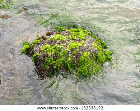 Seaweed on a stone - stock photo