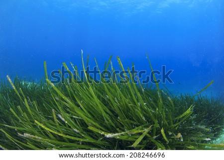 Seaweed underwater - stock photo