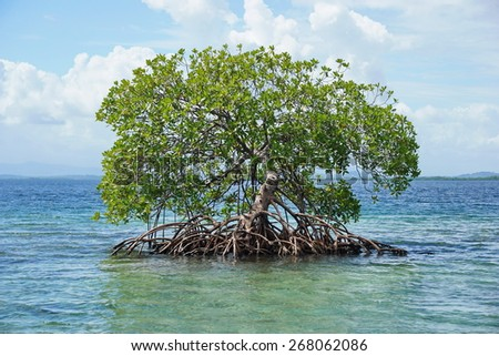 Secluded mangrove tree, Rhizophora mangle, in the water of the Caribbean sea, Panama, Central America - stock photo