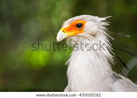 Secretary Bird Head