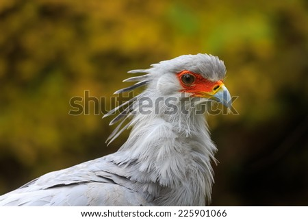 Secretary bird in detail