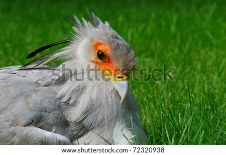 Secretary bird portrait - stock photo