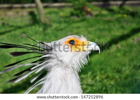 Secretary bird Sagittarius serpentarius