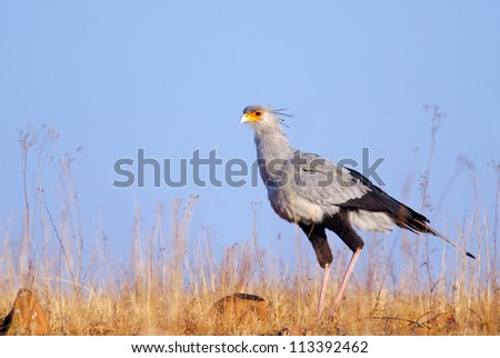 Secretary bird standing against a plain blue sky in the background - stock photo