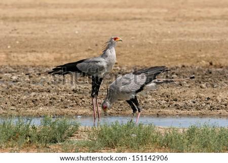 Secretary birds at waterhole - stock photo