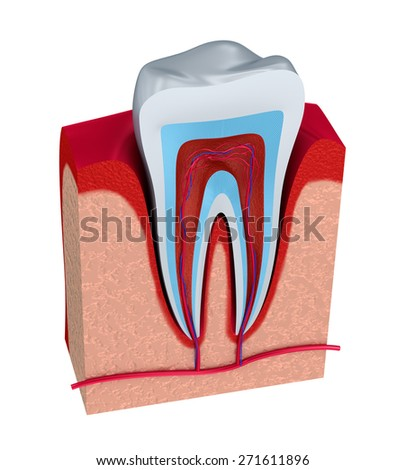Section of the tooth. pulp with nerves and blood vessels. - stock photo