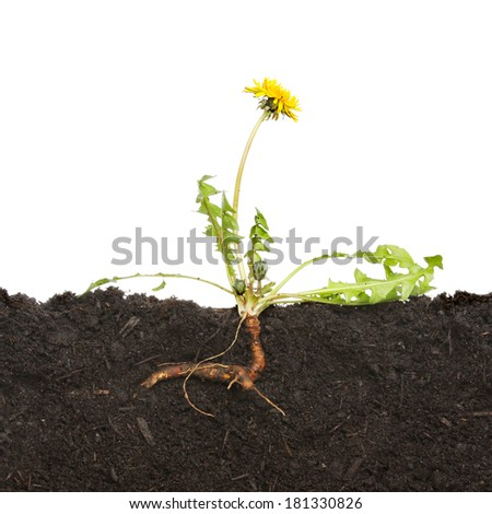 Section through soil with a dandelion weed and tap root against a white background