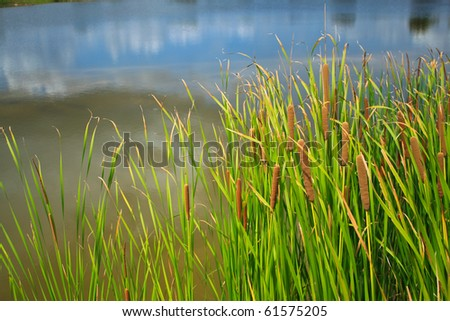 Sedge in pond - stock photo