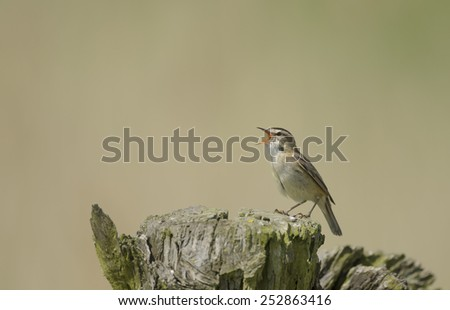 Sedge warbler - stock photo