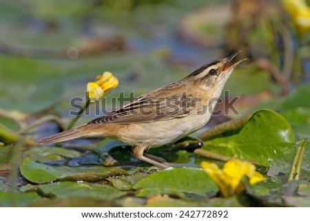 Sedge warbler (Acrocephalus schoenobaenus) on swamp among yellow flowers - stock photo