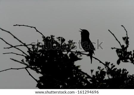 Sedge warbler, Acrocephalus schoenobaenus, single bird singing on branch backlit, Scotland - stock photo