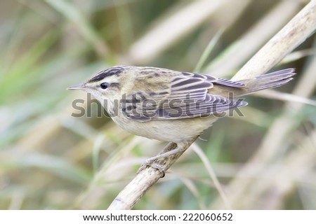 Sedge warbler standing on the reed and observing close-up / Acrocephalus schoenobaenus  - stock photo