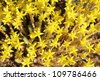 Sedum acre. Cat's claw, cuckoo bread, grapes cat - stock photo