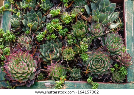 Sedum or Sempervivum plants for use in green roof projects - stock photo