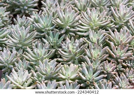 sedum sp. crassulaceae - stock photo