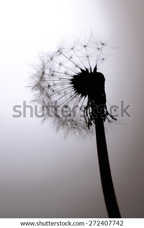 Seed head of a Dandelion