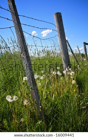 seeding dandelions along wire fence - stock photo