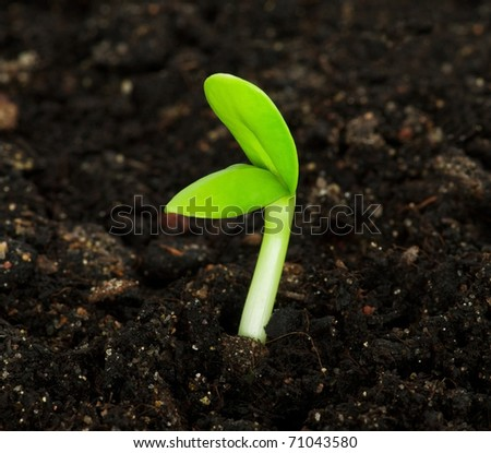 Seedling of a sunflower