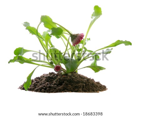 seedling of flower in soil isolated on white background - stock photo