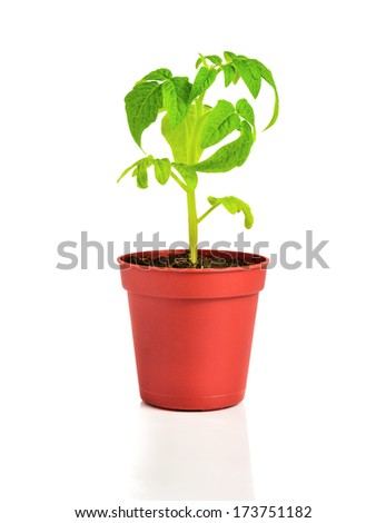 seedling of  plant of young tomato in flowerpot is isolated on white background - stock photo