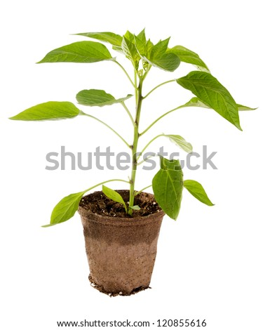 Seedling pepper in a container