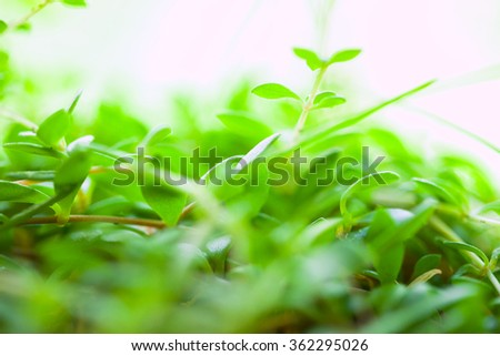 Seedling rosemary plant (Rosmarinus officinalis). Macro image with small depth of field. - stock photo