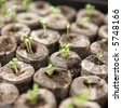 Seedlings beginning to grow in a propagator - shallow dof - stock photo