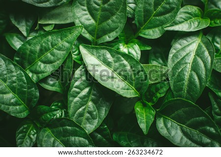 seedlings closeup young green peppers background. Agricultural company growing green plants. Young seedlings of acute and sweet peppers, as well as decorative - stock photo