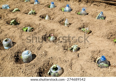 Seedlings growing in plastic bottles as small hotbeds