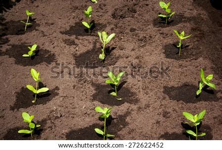 seedlings in the garden on black soil - stock photo