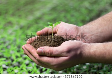 Seedlings in the hands of agriculture Hands holding a seedling for planting Tomato Seedlings in the hands of agriculture