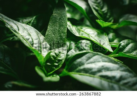 Seedlings of green vegetables growing in the soil, organic plantation. Seedlings of pepper closeup plant leaves - stock photo