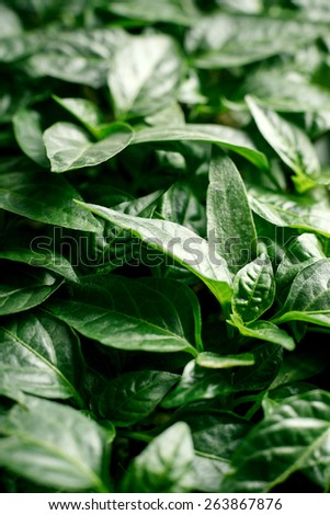 Seedlings of pepper closeup plant leaves. Seedlings of green vegetables growing in the soil, organic plantation.  - stock photo