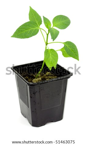 Seedlings of pepper on a white background - stock photo