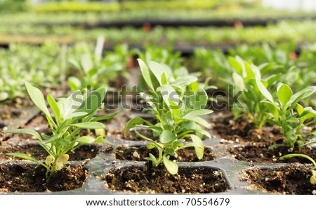 seedlings of petunia is grown in the greenhouse