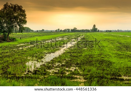 Seedlings of rice paddy in green . - stock photo