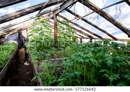 Growing Tomatoes In The Greenhouse. Seedlings In The Greenhouse. Growing
