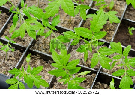 seedlings of tomato in boxes, at a window - stock photo
