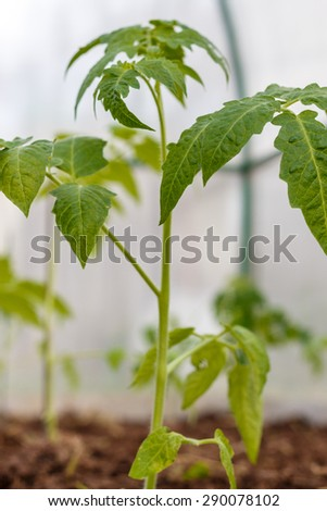 Seedlings of tomatoes in the seedbed  inside the greenhouse. Vegetable garden.  Household plot. Dacha. - stock photo